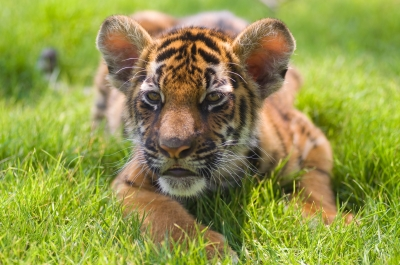 Manic Motherhood & raquo; Blog Archive & raquo; Tiger mother, perfect baby